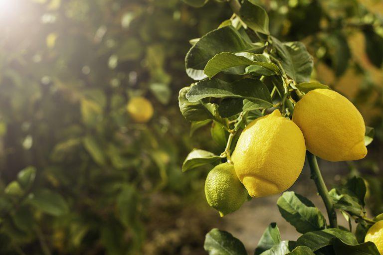 Limoni sull'albero. Un approfondimento sul frutto del limone